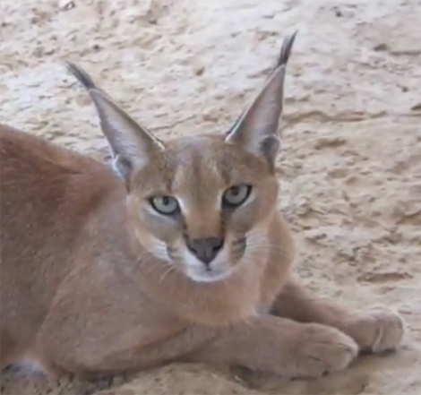Close up of a Caracal