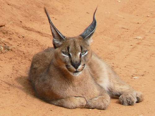 Caracal Cat Sitting