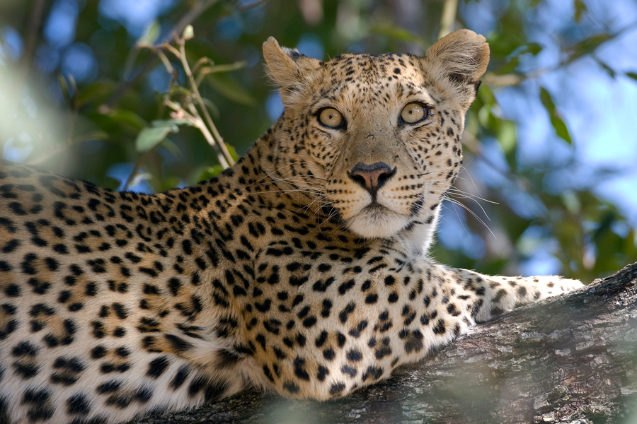 A female African Leopard up a tree