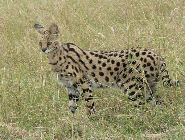 The Serval Cat