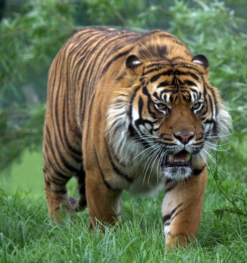 large Sumatran tiger