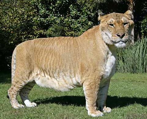 hurcules the liger