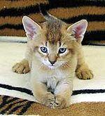 a chausie kitten