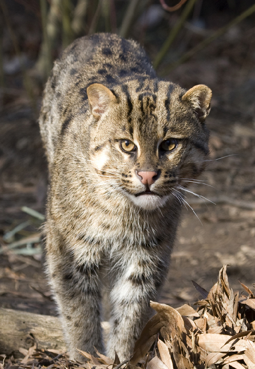 fishing cat video