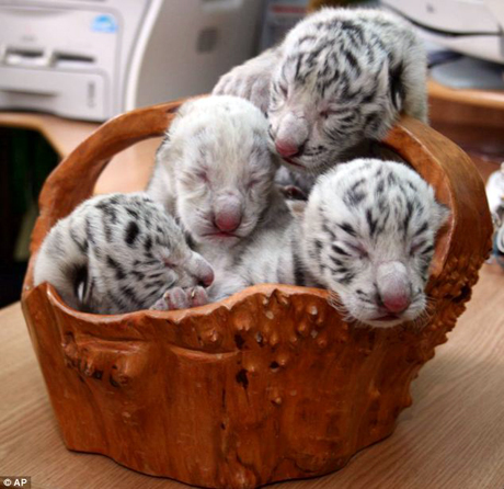 four tiger cubs