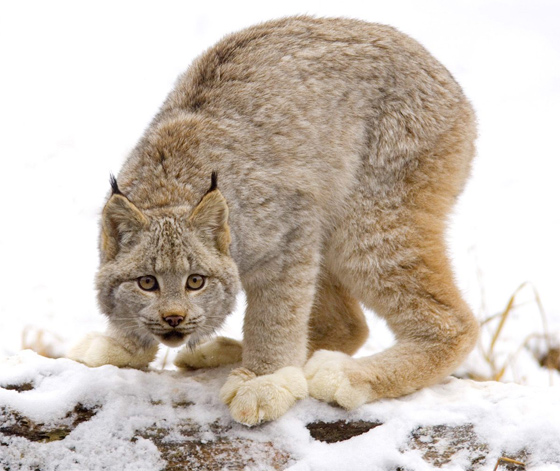 A lynx on all fours