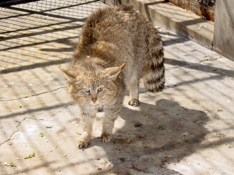 Chinese mountain cat in captivity