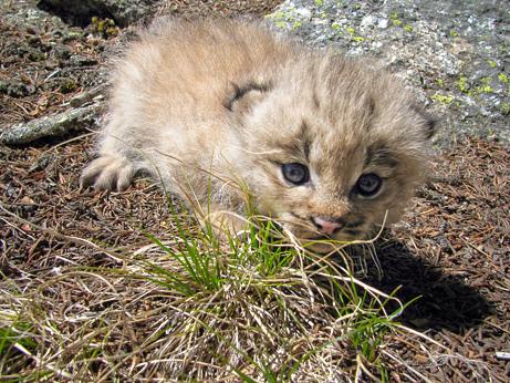 lynx kittens photograph