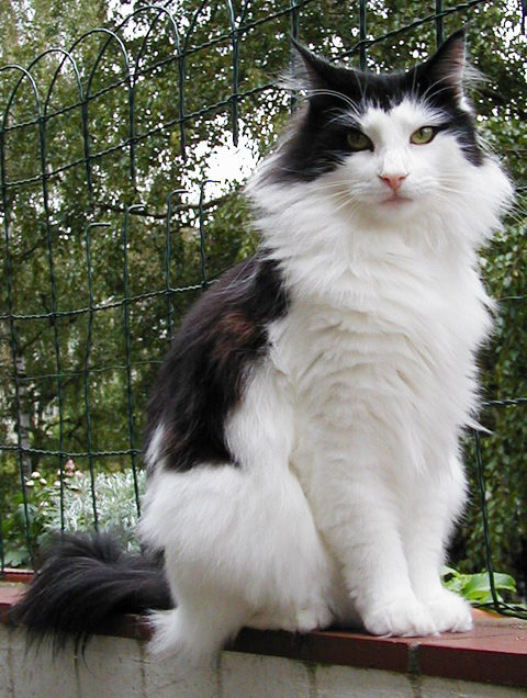 A Norwegian Forest Cat
