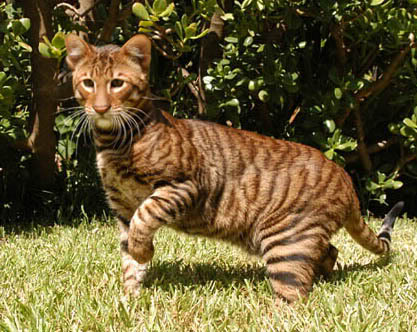 Toyger the toy tiger com