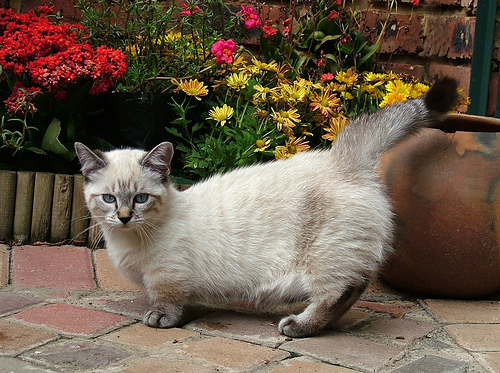 Munchkin Cat Photograph