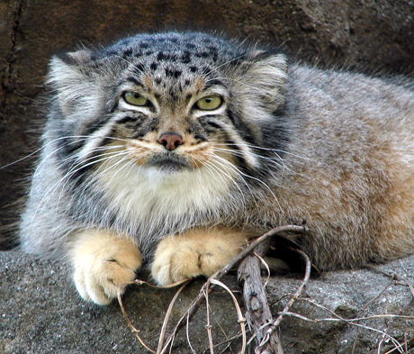 Pallas Cat in Captivity