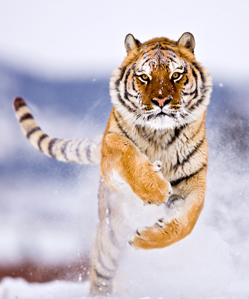 a tiger runs in the snow