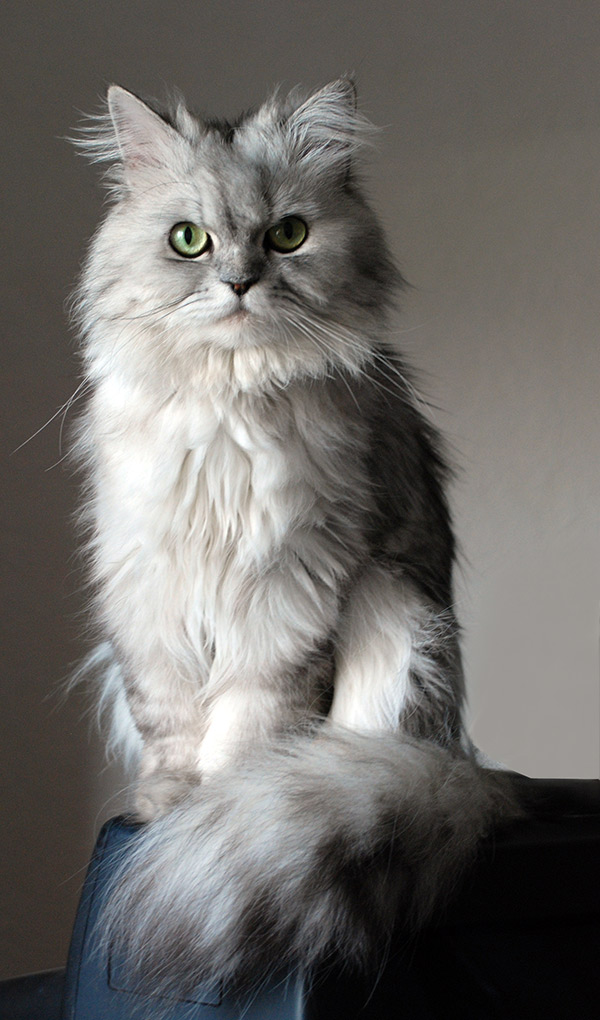 a doll faced silver persian cat