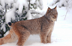 tough moggy lynx
