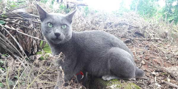 Blue Raas Cat