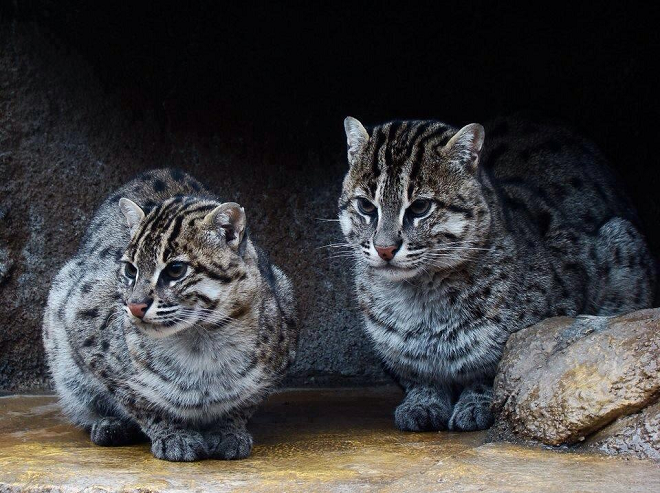 a pair of iromote cats in captivity
