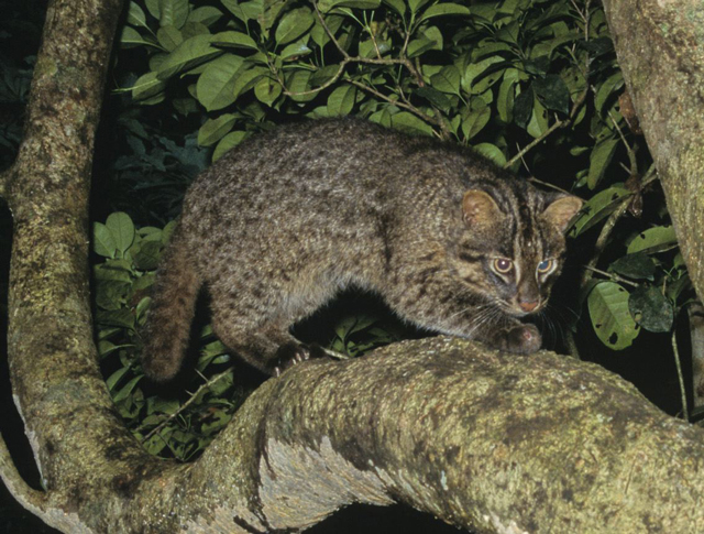 an iriomote cat prowling