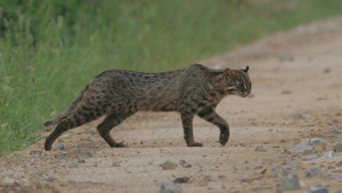 leopard cat walking
