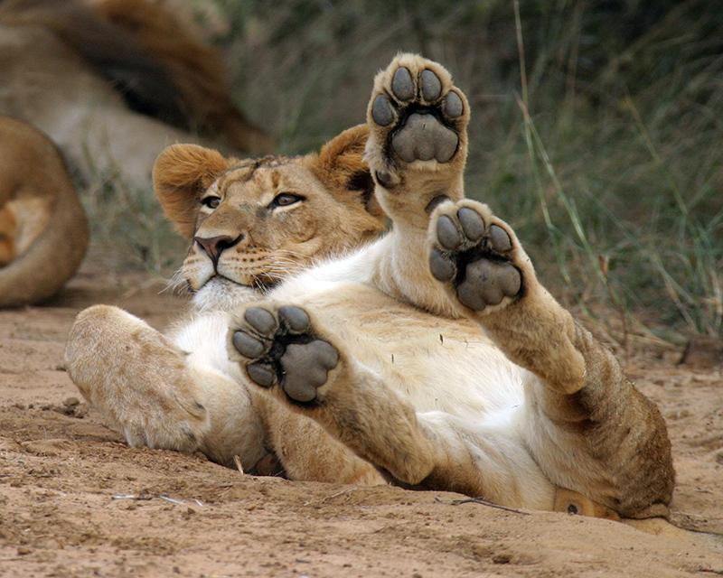lion cub photo by sperka