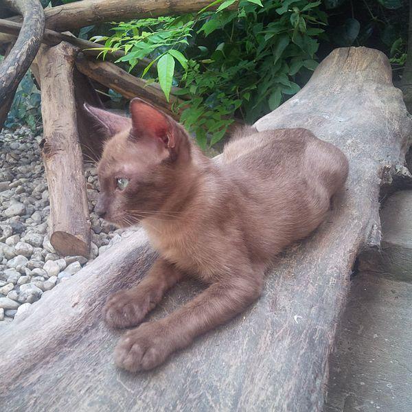 Amethyst Raas Cat