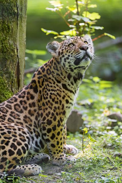 Male Jaguar Cub