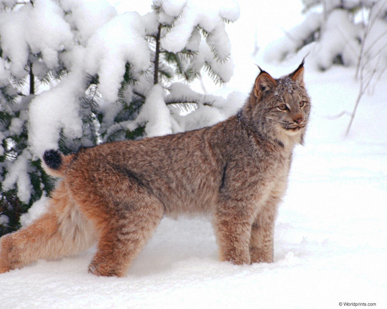 Linh Mieu - Lynx - A stately Creature