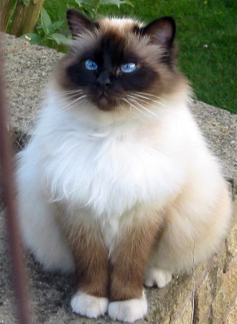 Birman Seal Point image