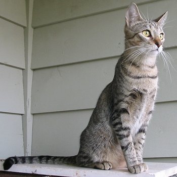 Photo of an American Keuda Cat