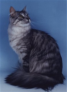 Maine Coon Cat - One of the largest domestic cats