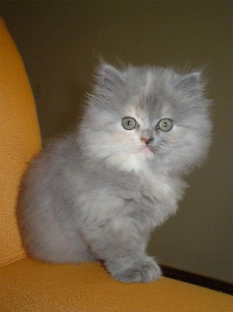 Persa Kitten