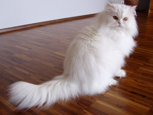 A Persian cat without an