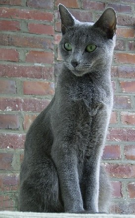 Russian Blue ~ I hope, Ed.