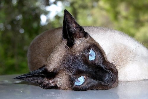 Siamese - affectionate and intelligent cats