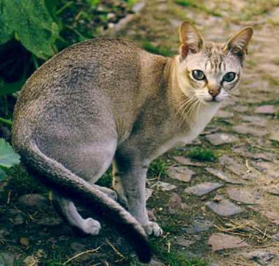 The singapura cat