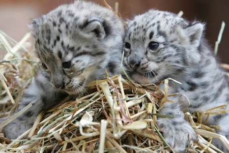 Snow Leopard Cubs - inquisitive little creatures