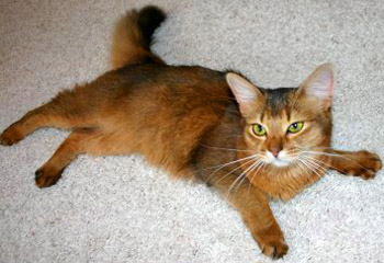 Somali long-haired Abyssinian cat