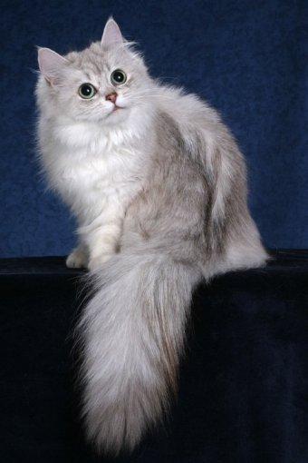 Tiffanie Cat