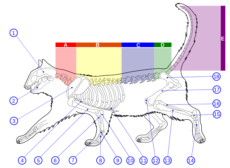 Skeletal Diagram of a Feline