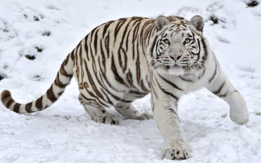 A Korean White Tiger