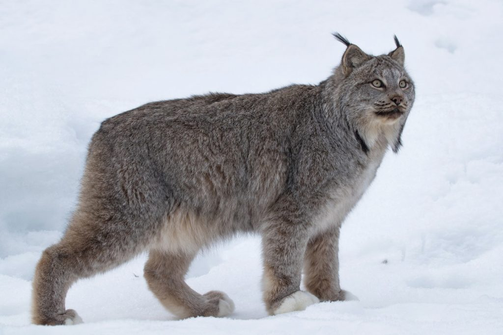 A lynx pauses in the snow