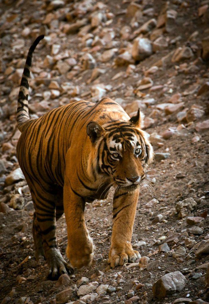 Tiger 57 image